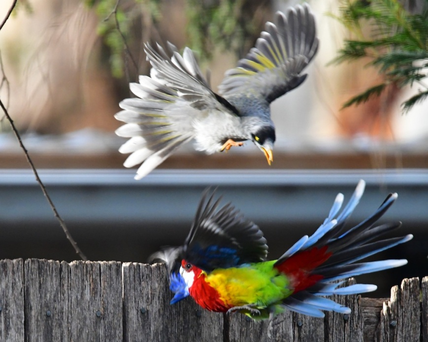 Eastern Rosella vs Noisy Miner