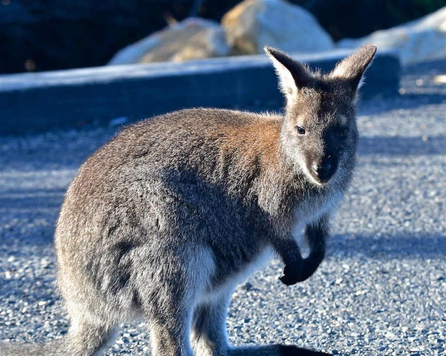 Pademelon wallaby